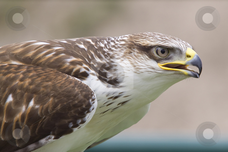 Buzzard stock photo, Close-up photo of a buzzard by Inge Schepers