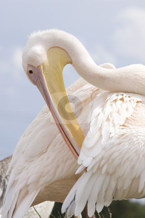 Pelican stock photo, Close-up photo of a preening pelican by Inge Schepers