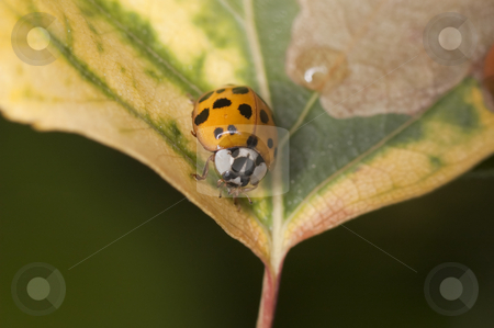Ladybug stock photo, Macro shot of a ladybug on a leaf by Vlad Podkhlebnik