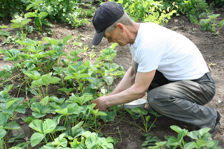 Gardening stock photo, The elderly man collects a strawberry on a kitchen garden by Aleksandr GAvrilov