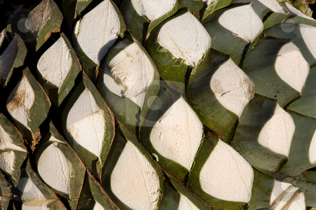 Agave Plant Used to Produce Tequila stock photo, Agave Plant with Leafs Cut Off Ready to Go Into Oven to Produce Tequila Mexico by William Perry