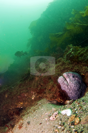 Survey All That He Sees stock photo, A wolf eel checks his surroundings by Greg Amptman