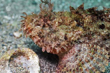 Scorpion Fish stock photo, Sea of Cortez by Greg Amptman