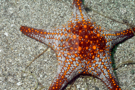 Sea Star stock photo, Sea of Cortez by Greg Amptman