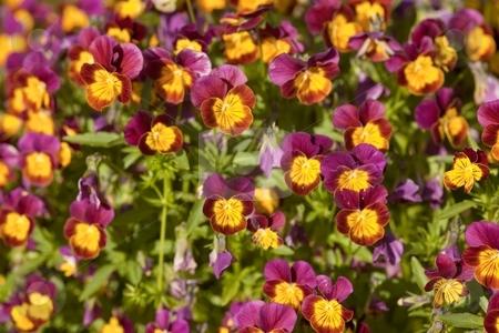 Viola stock photo, Viola is a genus of flowering plants in the violet family Violaceae by Mariusz Jurgielewicz