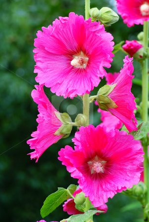 hollyhock stock photo, Pink full-blown hollyhock on green background by Jolanta Dabrowska