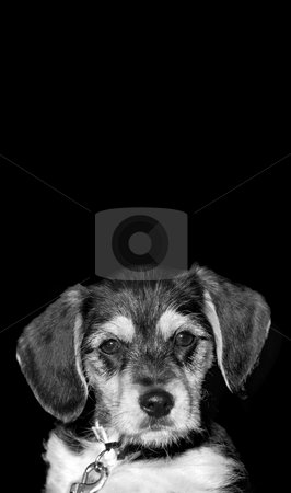 Cute Puppy stock photo, A an adorable puppy isolated over a black background with copyspace. by Todd Arena