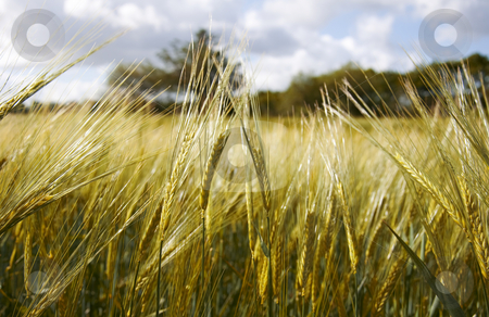 Wheat Field  stock photo, Wheat field by Jesper Klausen