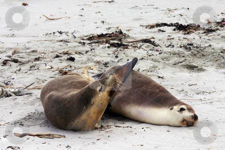 Pair of Australian sea lion friends stock photo, Pair of Australian sea lion (Neophoca cinerea) friends on a beach at Seal Bay, Kangaroo Island, South Australia by Stephen Goodwin