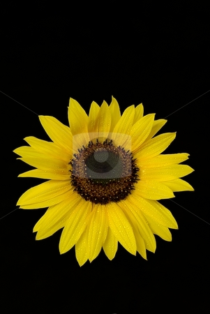 Sunflawer on black background stock photo, Isolated yellow sunflower with water drops on black background by Juraj Kovacik
