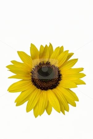 Sunflower on white background stock photo, Isolated sunflower with water drops on white background by Juraj Kovacik