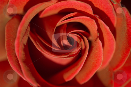 Red rose stock photo,  by Sergey Goruppa