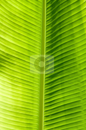 Green leaf texture stock photo, Green leaf texture showing all nerves; Chloroplast with chlorophyll giving color to leaf and used for photosynthesis. by Paul Hakimata