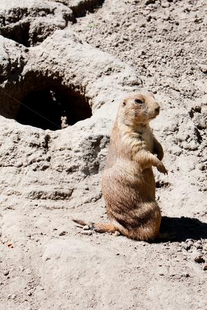 Prairie dog next to burrow stock photo, Sand patch with Ground hog/Prairie dog next to its burrow sitting up straight. by Paul Hakimata