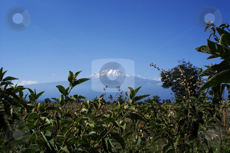 Majestic Mount Kilimanjaro, Tanzania stock photo, Mount Kilimanjaro, the highest mountain in Africa (5892m), seen through the crops. by Peter Van veldhoven