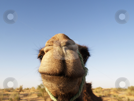 Smiling Camel  stock photo, Closeup of a camel's smiling face with blue sky and desert terrain in the background by Gordon Warlow