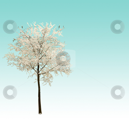Winter tree stock photo, Tree full of snow on blue and white gradient by Fabio Alcini
