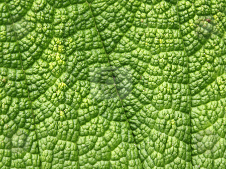 Green leaf macro close up natural background. stock photo, Green leaf macro close up natural background. by Stephen Rees