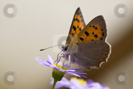 Butterfly stock photo, Closeup photo of a butterfly on a light purple flower by Inge Schepers