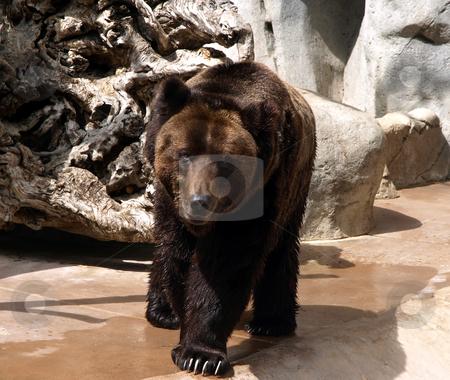 Brown bear stock photo, Full grown brown bear by Jill Reid