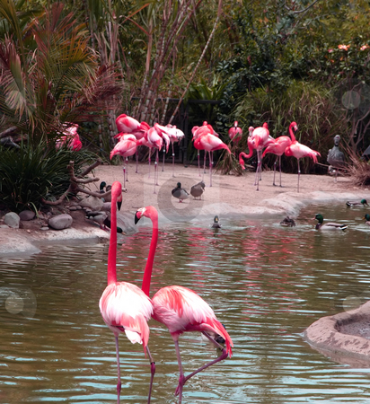 Group of flamingos stock photo, Group of colorful flamingos in pond by Jill Reid