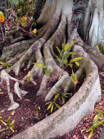 Gnarled tree roots stock photo, Close-up of intricate and gnarled tree roots by Jill Reid