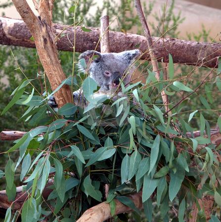 Koala bear in the leaves stock photo, A koala bear peeks through a leafy branch by Jill Reid