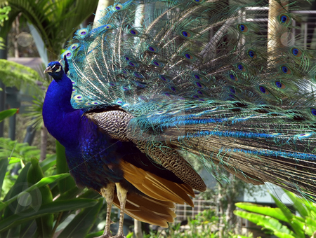 Colorful peacock and plumage stock photo, Colorful peacock with feathers and plumage by Jill Reid