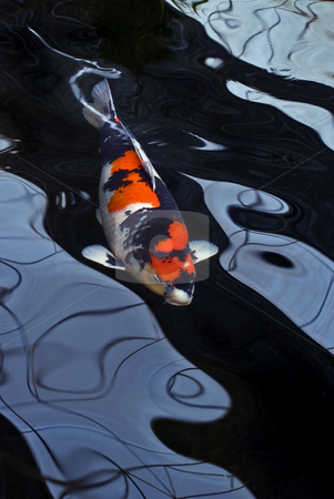 Red white and Black Coy Carp stock photo, A red, white and black Showa koi carp swimming in a dark pond and distorted by the water. by Stefan Breton