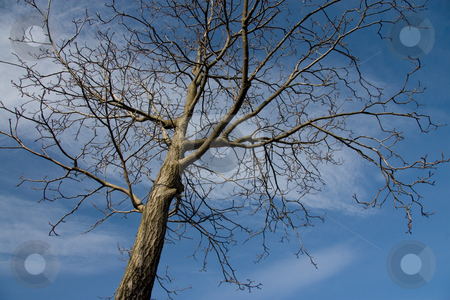 Leafless tree and blue sky stock photo, Leafless tree with blue sky background by Michele Lorenzini
