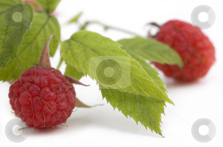 Fresh ripe raspberries stock photo, Fresh ripe raspberries on bush, isolated on white background, with shadow by Valery Kraynov