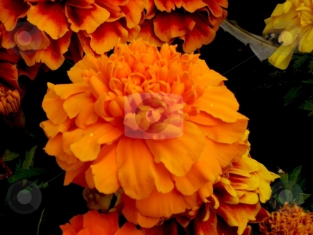 Orange marigold stock photo, Close up of an orange marigold by Cheryl Bowman