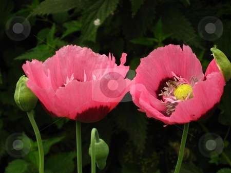 Pink poppies stock photo, A pair of pink poppies by Cheryl Bowman