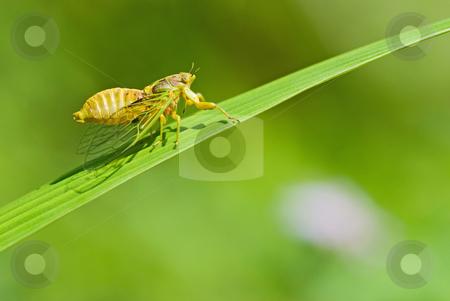 Cicadas courtship stock photo, Cicadas courtship (Mogannia hebes), Taiwan, East Asia by Lawren