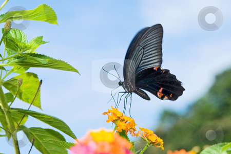 Black Swallowtail butterfly stock photo, Swallowtail butterfly feeding on orange flowers by Lawren