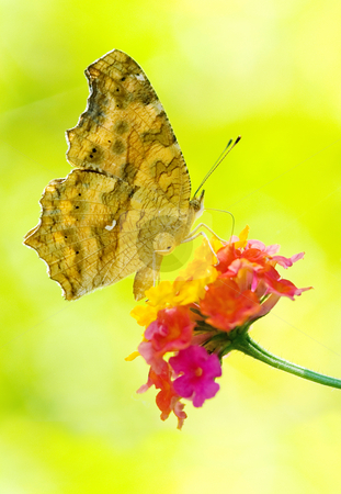 Butterfly feeding stock photo, Butterfly feeding, Yellow Brush-footed butterflies, Asia by Lawren
