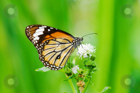 Butterfly (Danaidae), common tiger stock photo, Butterfly (Danaidae), common tiger by Lawren