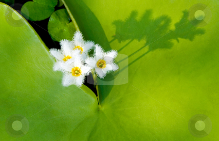 Water Snowflake with shadow stock photo, Water Snowflake, Indian Floatingheart, aquatic plant, Taiwan, East Asia by Lawren
