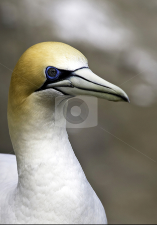 Mariwai Gannet stock photo, A simple portrait of a Gannet in one of only 2 gannet colonies in New Zealand. by Robin Ducker
