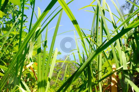 Dense Foliage stock photo, Looking up through dense foliage at the light blue sky. by Lynn Bendickson