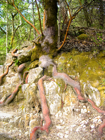 Tree roots stock photo, Tree trunk and roots by Jaime Pharr