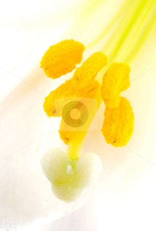 Interior of white lily flower stock photo, Interior of white lily flower, pistil and stamen by Lawren