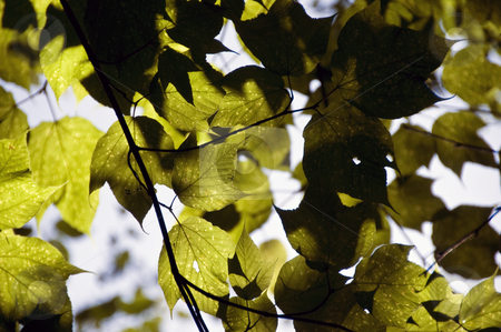 Sunlight leaves stock photo, Green leaves of a tree subtly lit by sunlight. by Kristen Wood