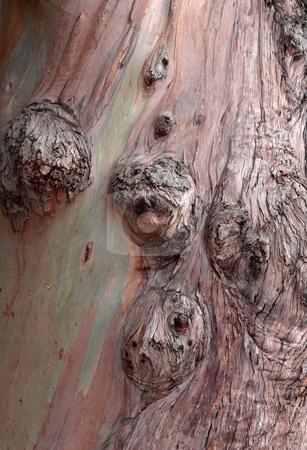 Knotty eucalyptus tree bark stock photo, Close-up of knotty eucalyptus tree bark by Jill Reid