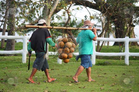 Coconuts stock photo, A bunch of coconuts being carried by farmers with a pole of bamboo by Claro Alindogan