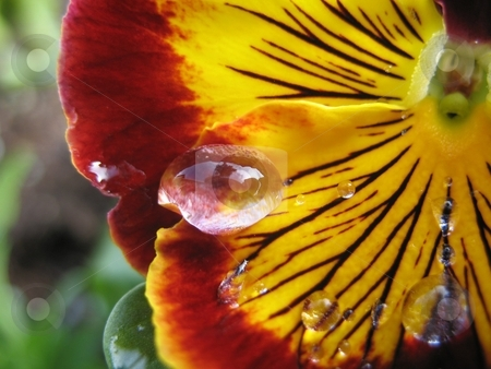 001 stock photo, Water beds on a flower in macro. by Tim Greek
