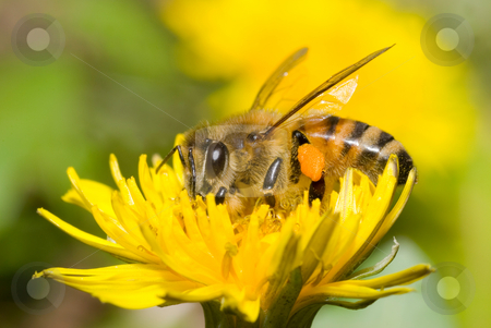 Working bee stock photo, The bee is working on dandelion flower by Lawren