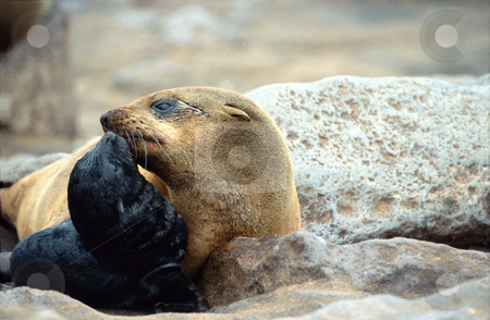 Motherly Love, Cape Cross, Namibia stock photo,  by Sigrid Wittmann