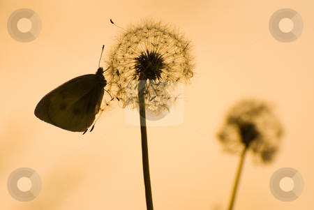 Dandelion and butterfly in peaceful evening stock photo, Dandelion and butterfly under sunshine by Lawren