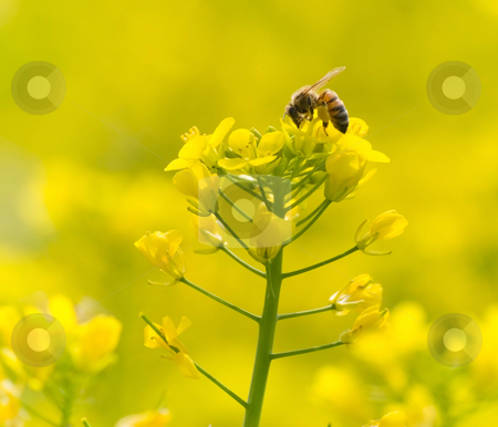 Feeding bee on yellow flower stock photo, The bee feeding on yellow flowers by Lawren